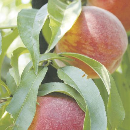 peaches on vine growing ripe at Brownfield Orchards